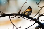 Carduelis singing