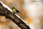 Parus major closing in