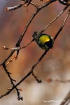 Parus major - pitigoiul mare