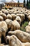 Masuratul-oilor,adunatul-mioarelor-2