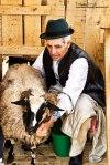 Masuratul-oilor,baciul-la-muls