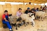 Masuratul-oilor,mulsul