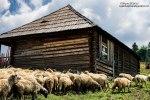 Masuratul-oilor,stana