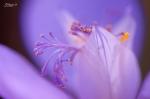 Inside crocus flower
