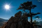 Pinus-nigra